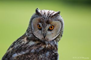 owl by PiTurianer