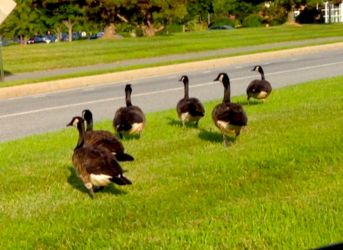 Resident Geese 2.0.2 by marshwood