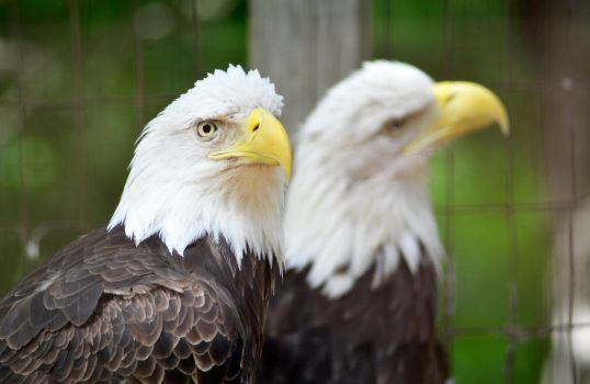 2 Bald Eagles  by seagaull