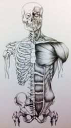 Skull to Pelvis Bone/Muscle Study Front View by BillyDoubleU