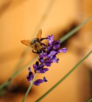 Lavender bee by RebeccaFB