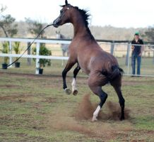 GE Arab rosegrey rearing view behind blurred by Chunga-Stock