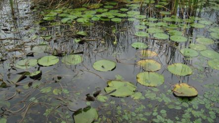 lily pads by Lonelily641