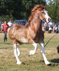 welsh cob by suuslovertje