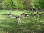 Deer Herd by Olgola