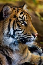 Sumatran tiger portrait by KarlDawson
