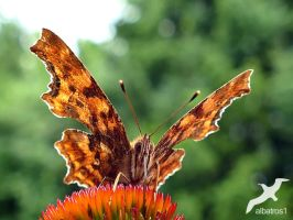 Comma Butterfly  by albatros1