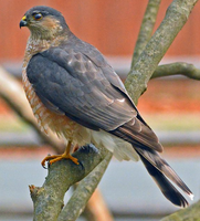 Sharp Shinned Hawk 001 by Elluka-brendmer