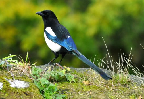 Magpie by Sotographi