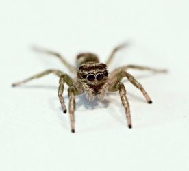 jumping spider by in-rainbow