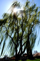 My Weeping Tree by shutterbabe2006