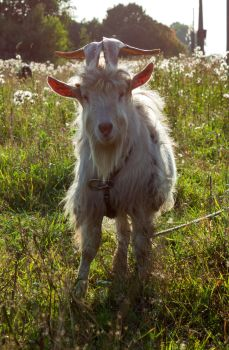 Male Goat by ManicHysteriaStock