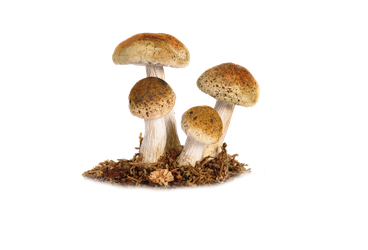 Mushroom Png 5 by Moonglowlilly
