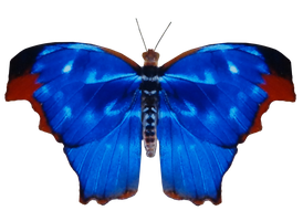 Blue Red Blue Butterfly 781 png by xybutterfly