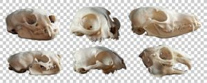 Animal skulls PNG by raduluchian