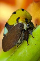 Treehopper photo stack shot by otas32