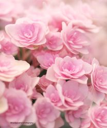 Pink Cloud. My Pink Hydrangea by theresahelmer