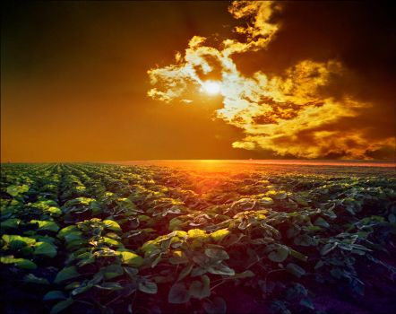 Young sunflower field by jup3nep