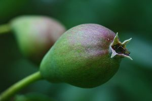 Pears in June by organicvision