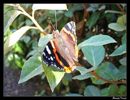 Red Admiral Butterfly by wackymanda
