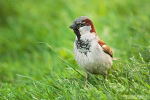 Male House Sparrow by DominikaAniola