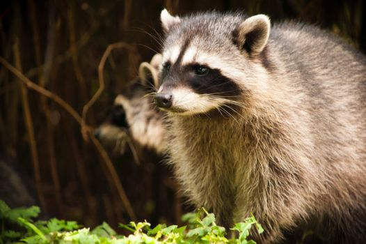Raccoon by hlaurah