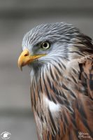 2010-255 One more Red Kite by W0LLE