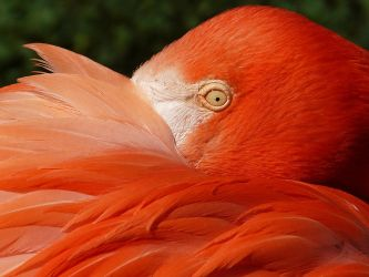 Flamingo Aflame by papatheo