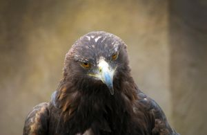 Golden Eagle by Techdrakonic