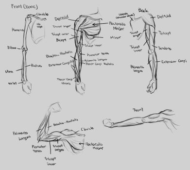 Anatomy-Arm by Renevatia