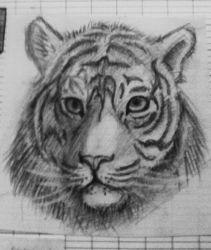 Tiger by Alicecab