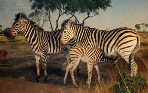 Denver Museum Zebra 404 by Falln-Stock
