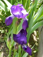 More Irises by kbcollins