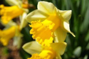 narcissus by duckstance