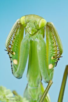 Mantis threat display by ColinHuttonPhoto
