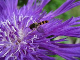 hoverfly by craftywench-nh