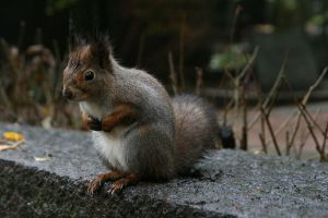 Squirrel 001 by neverFading-stock