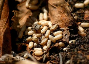 Ant Eggs by TheFunnySpider