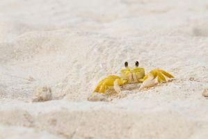 Atlantic Ghost Crab by jvrichardson