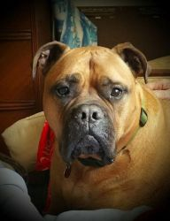 Sam my Bullmastiff by Simplytina