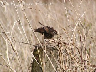 Song Sparrow 5 by jcdragonflies