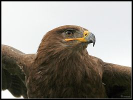 Steppe Eagle Hunting by cycoze