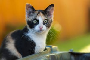 Curious Calico by StripedDemon