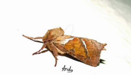 Moth drying its wings by andy-goldstraw