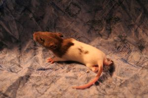 Baby Rats 4 by Dellessanna