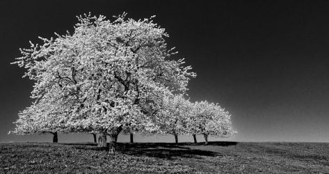 Trees in BW by deviantdave85