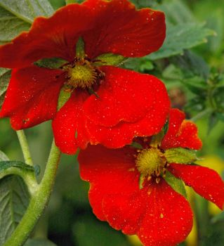 Geum Jewels by pjropes