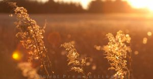 Fields of Gold by LiiLiiFish