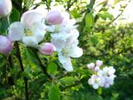 apple blossom by graphic-rusty