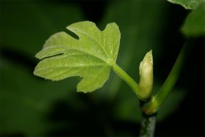 Fig Leaf by spyed